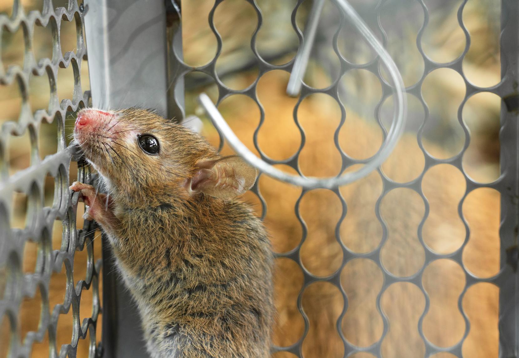 Deratyzacja szczurów