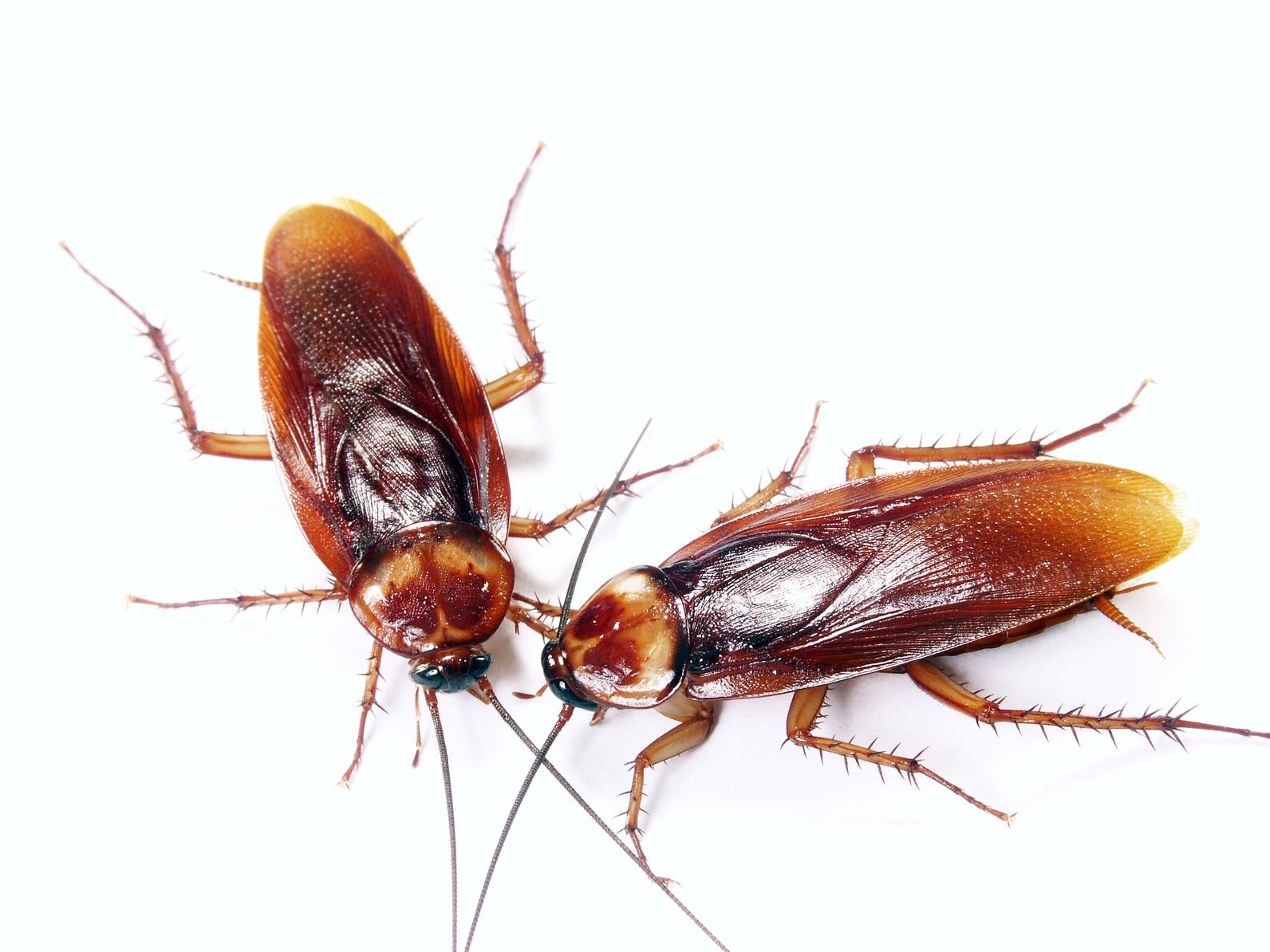 Zwalczanie karaluchów
