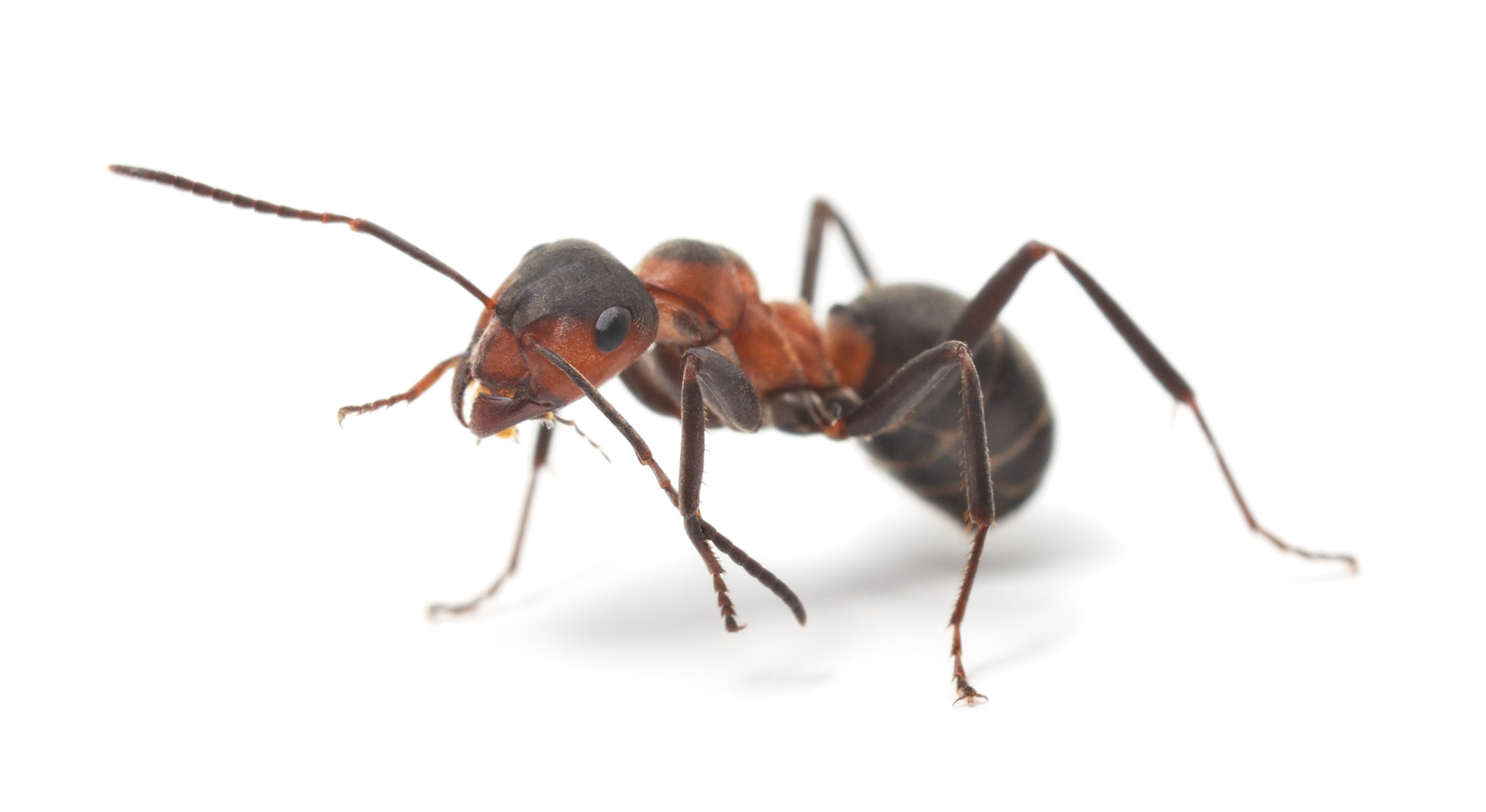 Zwalczanie mrówek