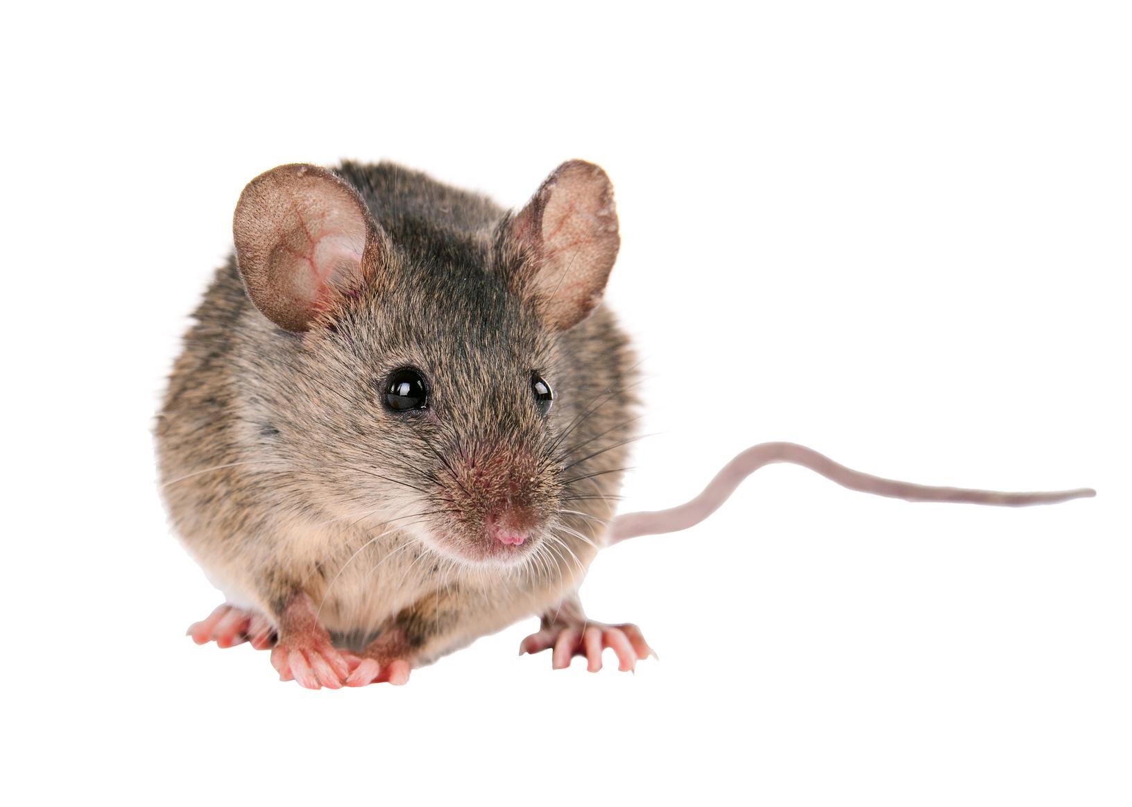 Zwalczanie myszy